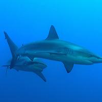 A pair of Galapagos Sharks at the Socorro Islands.
