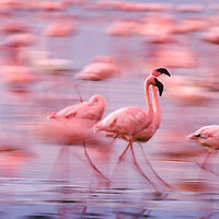 Lesser flamingos (Phoeniconaias minor), Lake Nakuru National Park, Kenya, Africa
