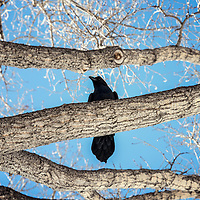 Winter tree looking up at blackbird sitting in tree with blue sky