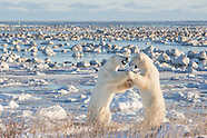 Polar Bears, Arctic Foxes, Hares