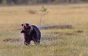 Brown bear (Ursus arctos) sheaking off the water. Eastern Finland.