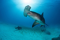 A Great Hammerhead swims toward the surface, while Nurse Sharks congregate on the seafloor.<br /> <br /> Shot in Bahamas