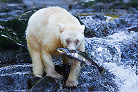 Spirit bear with a fresh salmon in the Great Bear Rainforest, BC, Canada
