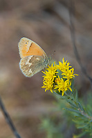 A subspecies of the common ringlet,  the northwest ringlet is a member of the satyr subfamily of brushfoot butterflies and is a regular sight in the grasslands and plains of the northern western states with a slightly lighter coloration with brighter oranges.  This one was found near a lake in the sagebrush desert or rural Grant County in Central Washington.