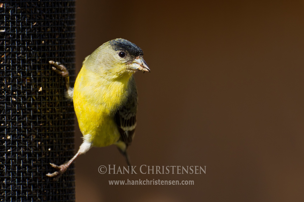 A lesser goldfinch clings to the side of a thissle feeder