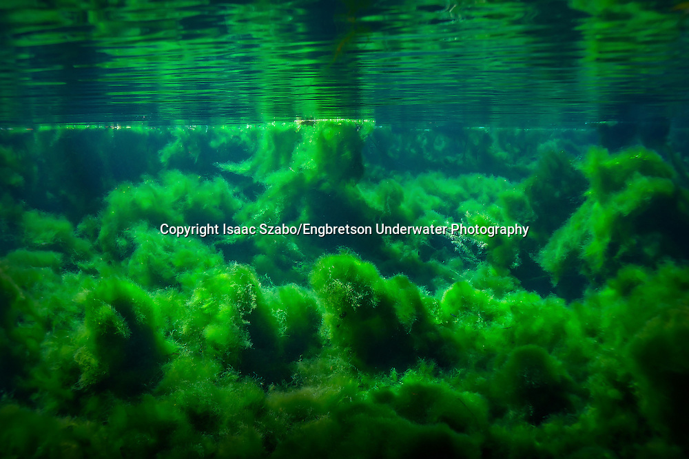 Lyngbya<br />