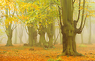 Pollarded hornbeams in Epping Forest during autumn