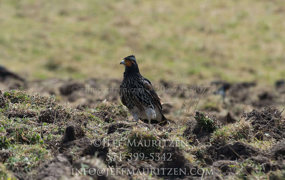 A mountain caracara searches for food in an agricultural field high up in the Sierra region of Ecuador.