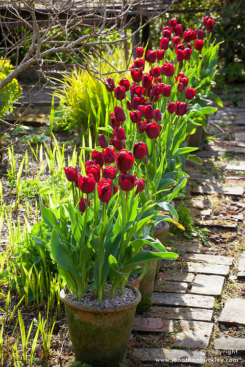 Pots of Tulipa 'Jan Reus' lining the brick path at Glebe Cottage