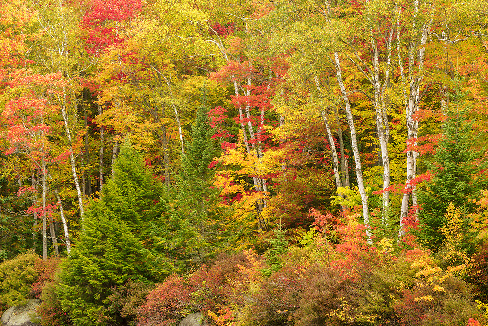 Colorful foliage and white birch, Groton State Forest, Vermont