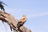 The Tawny eagle is found throughout most of Africa south of Morocco, inhabiting mountains and wooded savanna.