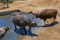 Black Rhinoceroses (with Bison) Pool Party