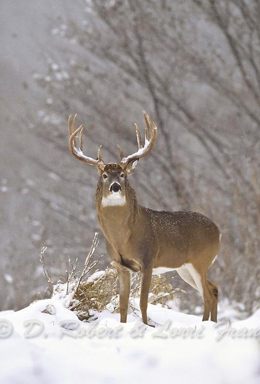 Whitetail deer (Odocoileus virginianus) trophy buck in snow