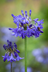 Bee on Agapanthus 'Bressingham Blue'. African lily