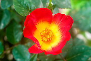 Red and yellow cocktail rambler rose flower