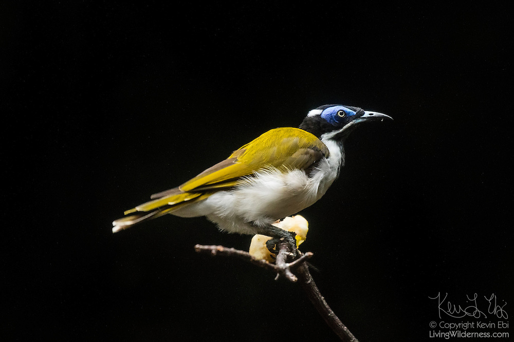 A captive blue-faced honeyeater (Entomyzon cyanotis) rests on a branch. The blue-faced honeyeater is common in northern and eastern Australia and southern New Guinea. It generally forages in the branches and foliage of trees and mainly feeds on small insects, including cockroaches, termites, grasshopers, beetles, flies, moths, bees, ants and spiders. It is occasionally known to also feed on small lizards.