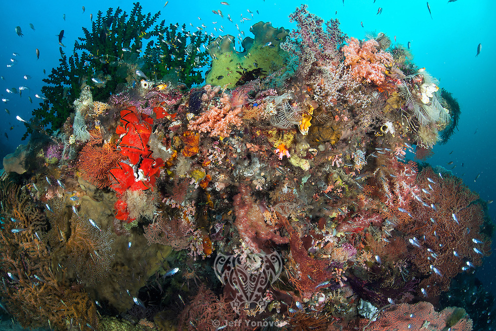 Profuse Marine Invertebrate life, including hard and soft corals, sponges, oysters and tunicates.<br /> <br /> Shot in Indonesia