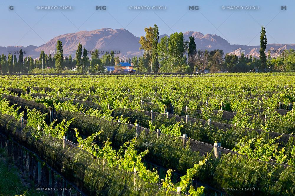 VINEDOS EN SAN RAFAEL, PROVINCIA DE MENDOZA, ARGENTINA (PHOTO © MARCO GUOLI - ALL RIGHTS RESERVED)