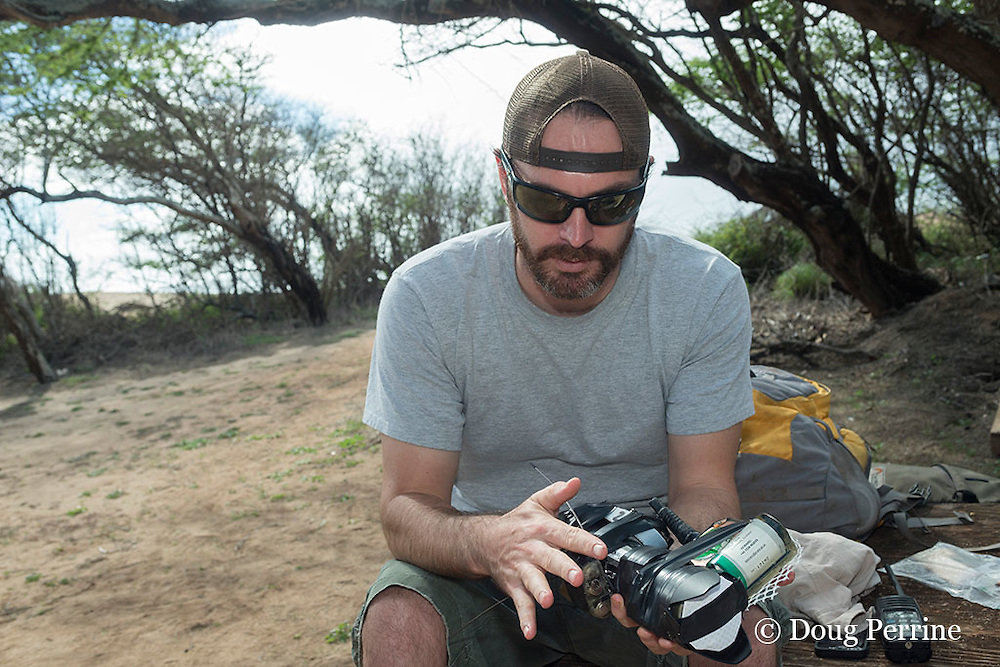 NOAA researcher Dr. Charles Littnan prepares a Crittercam and tracking instrumentation package, which will be glued to the fur of a Hawaiian monk seal as part of the Hoike a Maka project; west end of Molokai, Hawaii ( Central Pacific Ocean )
