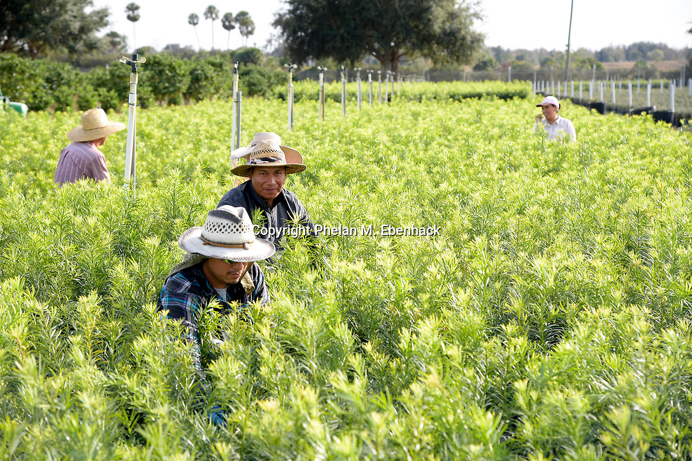Migrant workers tend to a field full of landscape shrubbery at Hooper Farms, Tuesday, Jan. 17, 2017, in Apopka, Fla. (Photo by Phelan M. Ebenhack)