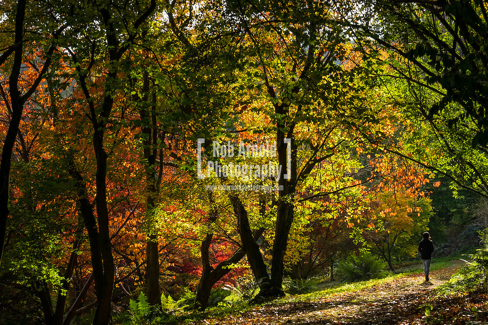 A lady walking through autumnal trees at Winkworth Arboretum in Surrey