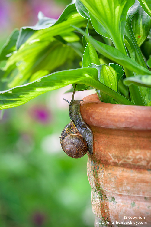 Snails climbing up a terracotta container towards a hosta