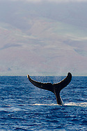 Humpback Whale, Megaptera novaeangliae, Tail Wave 5 of 8, Maui Hawaii