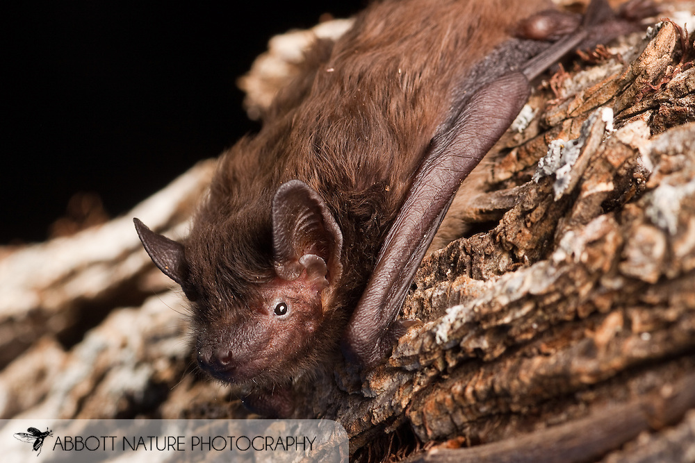 Nycticeius humeralis (Evening Bat)<br /> bat held at Bat Conservation International Rehabilittion Center run by Barbara French<br /> 19.March.2009<br /> J.C. Abbott