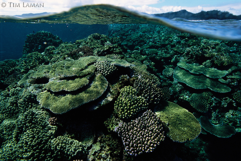 Healthy reef of hard corals just under the surface of the Great Astrolabe Reef, Kadavu Island, Fiji.  Kadavu Island visible in this split level, over/underwater view.
