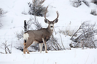 Wintertime Mule Deer buck stands in a mountain valley at a lower elevation which is his winter range.