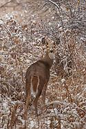 A deer looking back in snowy woods, Alberta, Canada
