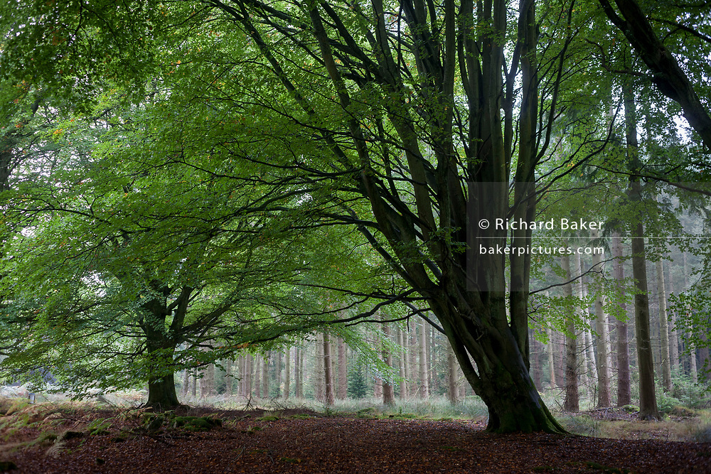 Old and new growth Northumbrian woodland consisting of beech and pine on 25th September 2017, in Rothbury, Northumberland, England.