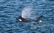 A Killer whale breaks the surface of the ocean waters that surround Isla de Los Estados, Argentina.