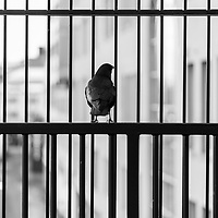 Crow sitting on layers of wrought iron fences, staring out onto blurred urban landscape.