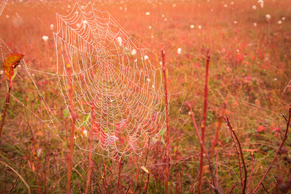 A dew laden spider web in the early morning hours at Cranberry Glades Botanical Area, West Virginia.