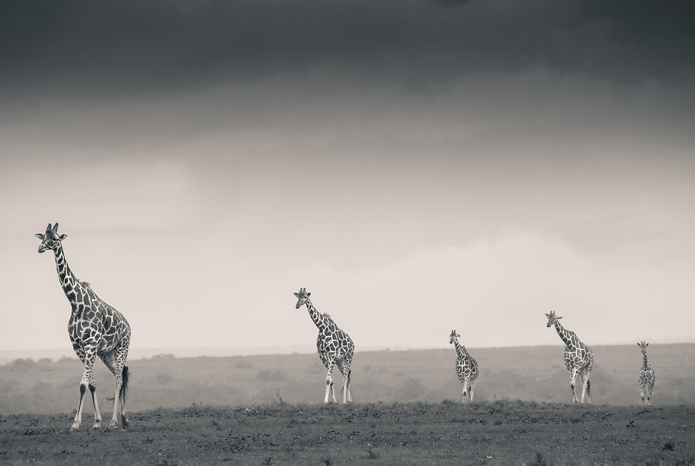 Reticulated Giraffes stroll across the plains of Solio
