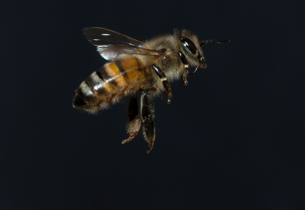 European honey bee (Apis mellifera), Captive,  credit: Palo Alto JMZ/M.D. Kern