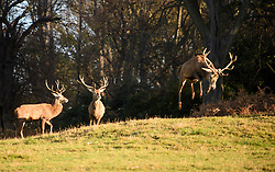 © Licensed to London News Pictures. 30/11/2017. London, UK. A deer stag leaps with excitement in sub zero temperatures at Richmond Park, London at sunrise on November 30, 2017 as a drop in temperatures hits the UK in the last day of Autumn. Photo credit: Ben Cawthra/LNP