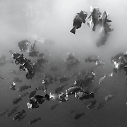 Clouds of sperm and eggs released by thousands of bumphead parrotfish (Bolbometopon muricatum) engaged in mass spawning in the early morning. Simultaneous release of gametes in such large quantities likely serves to maximize chances of survival for fertilized eggs. Group spawning also obscures visibility underwater, creating hazy, fog-like conditions. Photographed in the early morning in Palau.
