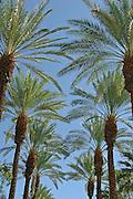 Palm Tree, California palm tree s, CA, Fan Palm, native, Arecaceae, Palmae, Palmaceae High dynamic range imaging (HDRI or HDR)