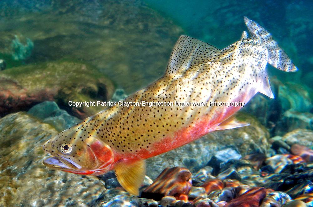 Westslope Cutthroat Trout   Westslope Cutthroat Trout Engbretson Underwater Photography