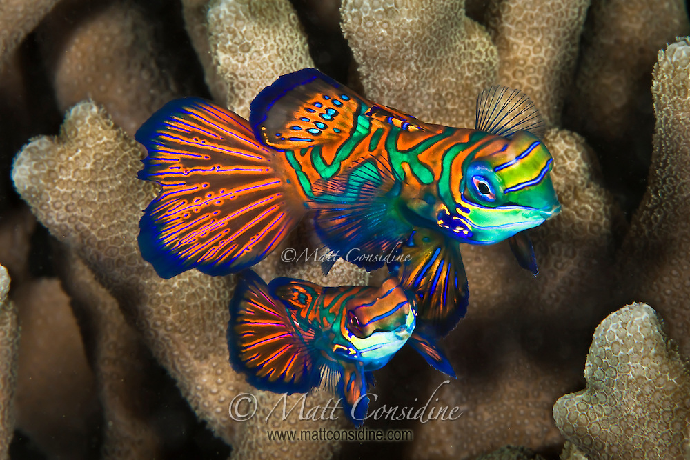 Male and female Manadarin fish move out of the coral ready to start the mating dance. The male is the small one, Palau Micronesia. (Photo by Matt Considine - Images of Asia Collection)