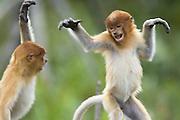 Proboscis Monkey<br /> Nasalis larvatus<br /> Juveniles playing<br /> Sabah, Malaysia