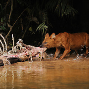 Dhole (Cuon alpinus) feeding on Sambar deer kill in Khao Yai national park, Thailand