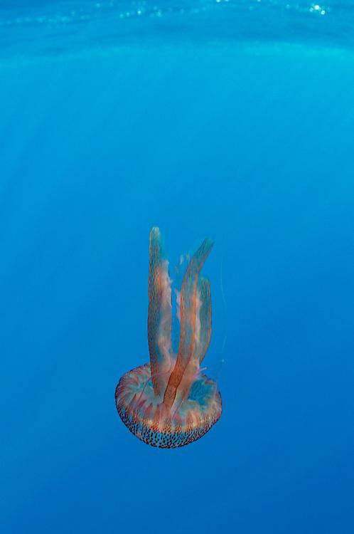 True jelly fish, Pelagia noctiluca, Pico, Azores, Portugal