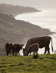 © Licensed to London News Pictures. 25/05/2015. Sandown, Isle of Wight, UK. Grazing cattle on Culver Down on the Isle of Wight shortly after sunrise this morning,The weather is set to be generally dry, with cloud cover and localised sunny spells. Photo credit : Rob Arnold/LNP