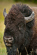 American Bison, Bos bison, at Yellowstone National Park, WY, on Sept. 6, 2012.  (Photo by Aaron Schmidt © 2012)