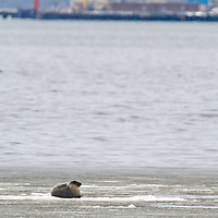 A lone harbor seal lies belly up on a large piece of sea ice in Raritan Bay, New York Harbor. A two week stretch of near zero temperatures created pack ice which this seal is obviously enjoying.