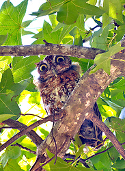 A frightened juvenile owl watchs from the relative safety of a tree limb.