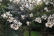 France, Languedoc Roussillon, Gard, Cévennes, Anduze, Prafrance, La Bambouseraie, Magnolia Stellata